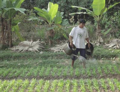Palm sugar production
